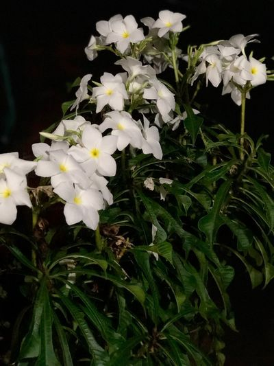 Night Flower Garden Photography Garden Plant Flowering Plant Flower Fragility Vulnerability  Petal Growth Beauty In Nature Freshness Inflorescence Flower Head Nature Close-up White Color Plant Part Leaf No People Night Outdoors Black Background