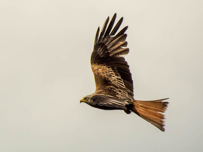 Red Kite In Flight Red Kites Red Kite Bird Flying Red Kite Animal Wing Hawk - Bird
