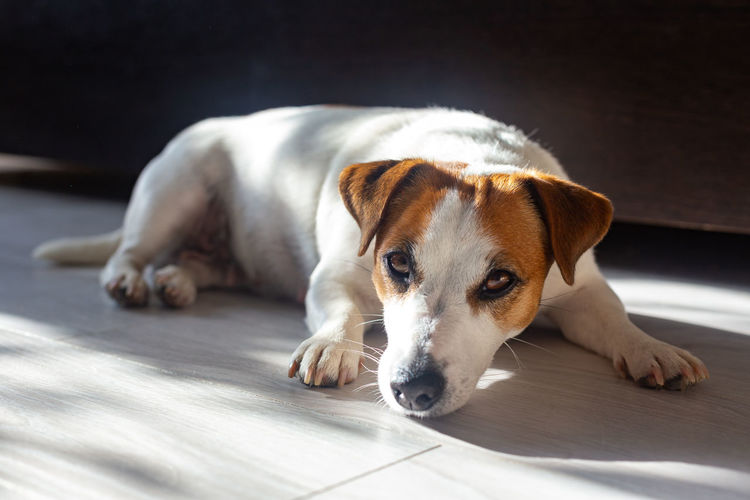 Beautiful dog jack russell lies on floor on his stomach, stretches his legs forward, looks at camera