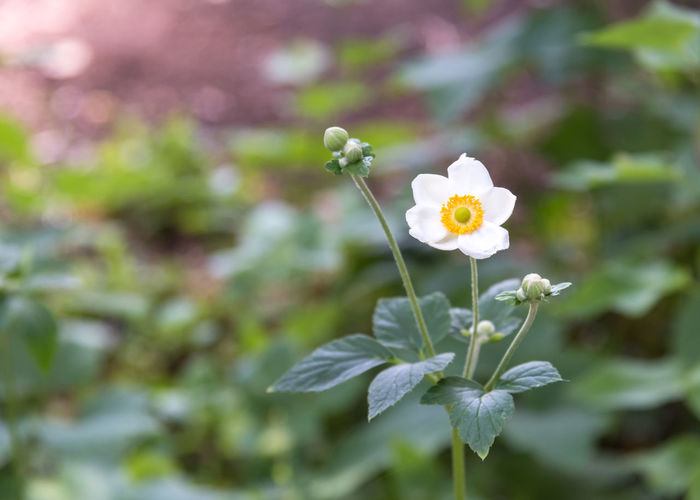 White Japanese anemone flower blooming in garden A. Hupehensis Afternoon August Gardening Green Japanese Anemone Single Flower Beauty In Nature Blooming Blossom Bokeh Photography Close-up Flora Floral Flower Focus On Foreground Garden Photography Leaves Nature Outdoors Plant Single Blossom Summer White Anemone White Flower
