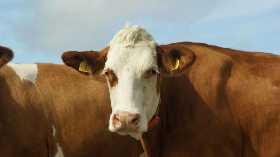 Portrait of cow against sky
