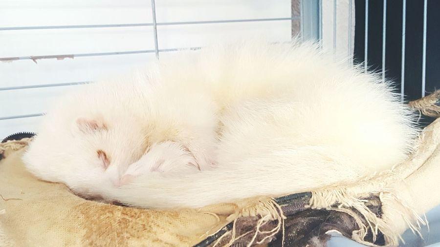 Ferrets  Ferret Ferretlove Ferretcouple Cute Cute Pets White Furry Love Pet