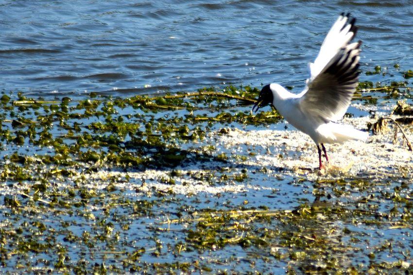 Bird Fishing Walking On The Water