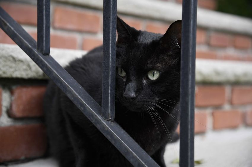 A black cat hangs out on a stoop in a suburban neighborhood One Animal Mammal Vertebrate Domestic Pets Feline Day Whisker Bars Stoop Black Color Outdoors Outside Cats Portrait Eyes Face Ears Looking Away Red Brick Close Up Focus On Foreground Metal Steps Stairs Afternoon EyeEmNewHere A New Beginning