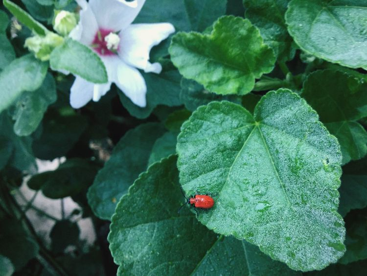 Red Lilly Beetle Red Lily Beetle Leaf Plant Plant Part Insect Beetle Nature Ladybug Invertebrate Flower Growth Red Beauty In Nature Animal