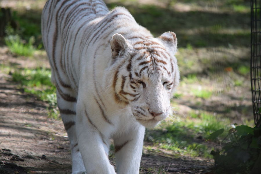 White Tiger Animal Themes Animal Wildlife Animals In The Wild Beauval Close-up Day Focus On Foreground Mammal Nature No People One Animal Outdoors Tiger White White Tiger White Tiger Zoo