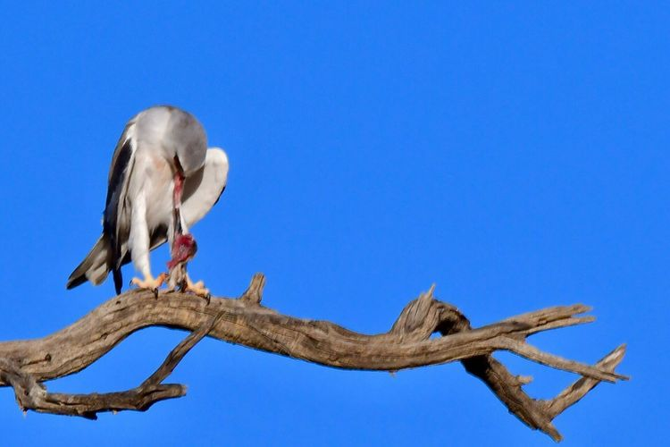 Black Shouldered Kite Kgalagadi Transfrontier Park Animals In The Wild Perching Blue Bird Nature Beauty In Nature Perspectives On Nature EyeEm Best Shots Kalahari Wildlife Photography EyeEm Nature Lover Bird Photography Birds Of EyeEm  Birds Of Prey Raptor