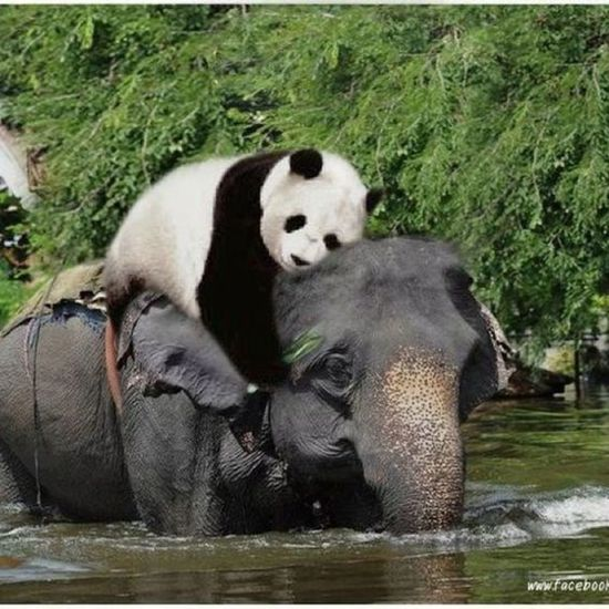 Bear Animals In The Wild Giant Panda Panda - Animal Day Nature Water Animal Wildlife Animal Themes Lovelovelove LOVE LOVE LOVE PEACE & RESPECT...!! Only Love): 😍😍