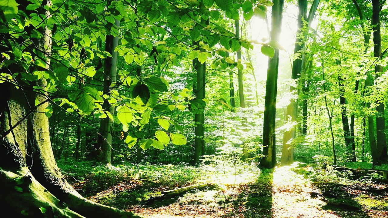 tree, forest, nature, sunlight, growth, day, no people, sunbeam, tranquility, tree trunk, outdoors, scenics, beauty in nature, green color, tranquil scene, branch, landscape, leaf, sunshine