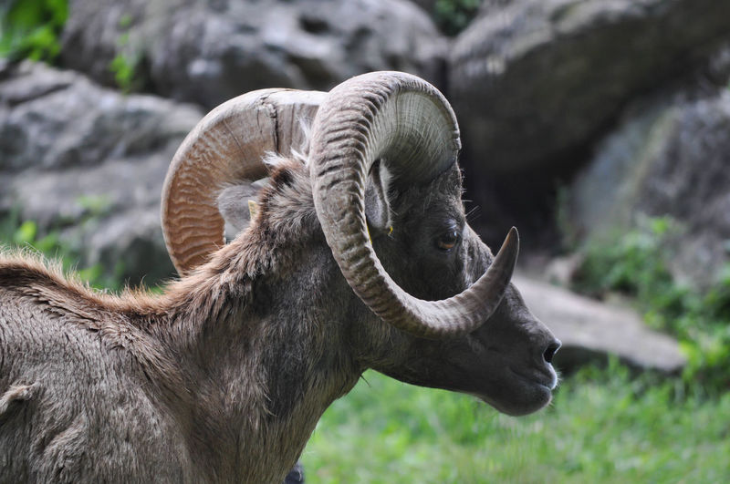 Adult Ram with Horns Horns RAM Animal Themes Animals In The Wild Close-up Field Livestock Mammal Nature No People One Animal Outdoors