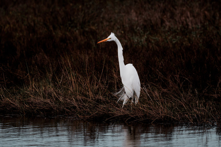 Hunting egret in Louisiana Animal Wildlife One Animal Animal Themes Bird Animal Animals In The Wild Vertebrate Egret Day Nature No People Water Wildlife Nature Outdoors Grass Hunting Feather
