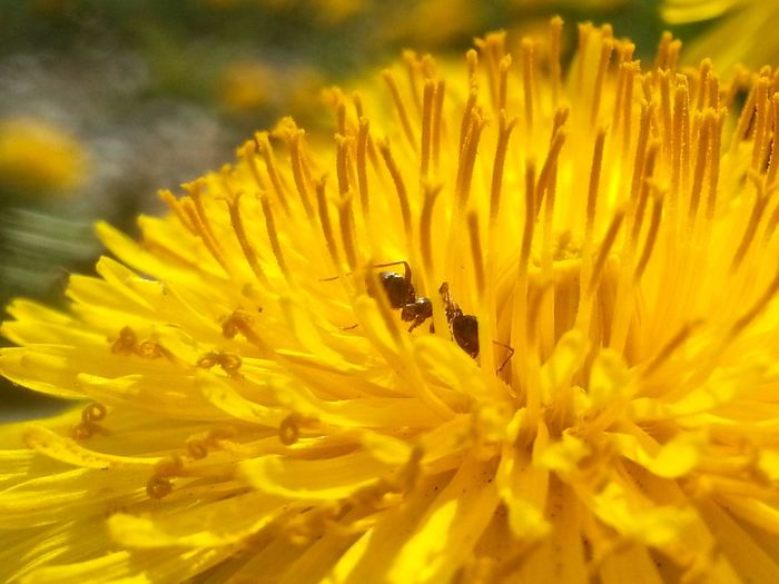 Little Mr Working On A Dandelion Ant My Flower Obsession #Macro