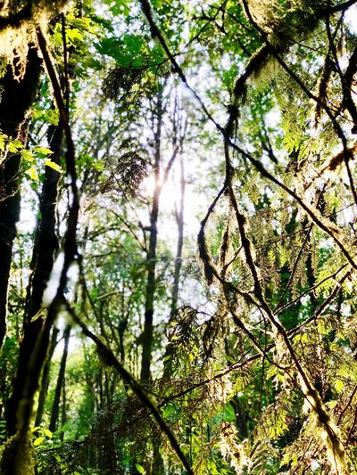 Mossy Woods Tree Plant Growth Forest Beauty In Nature Low Angle View Nature Land Tranquility Sunlight Day No People Branch Green Color Plant Part WoodLand Leaf Outdoors Tranquil Scene Tree Trunk