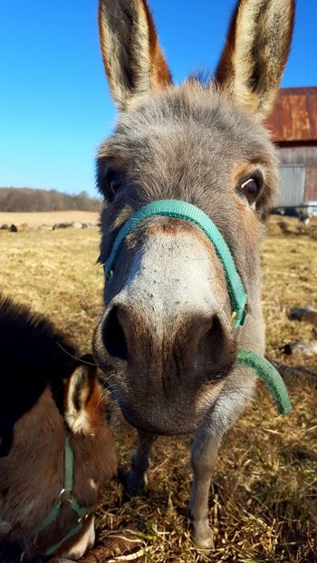 One Animal Looking At Camera Animal Themes Portrait Mammal Domestic Animals No People Nature Outdoors Sky Day Animals In The Wild Close-up Bethlehem Donkey Pure Michigan Michigan Redemption Hill Farm Donkey Ears Donkey Nose Donkey Photography Donkey Eye Donkeyshot Donkey Animals Donkeyface Donkey Love