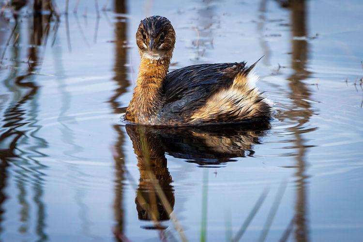 Portrait of bird swimming in lake