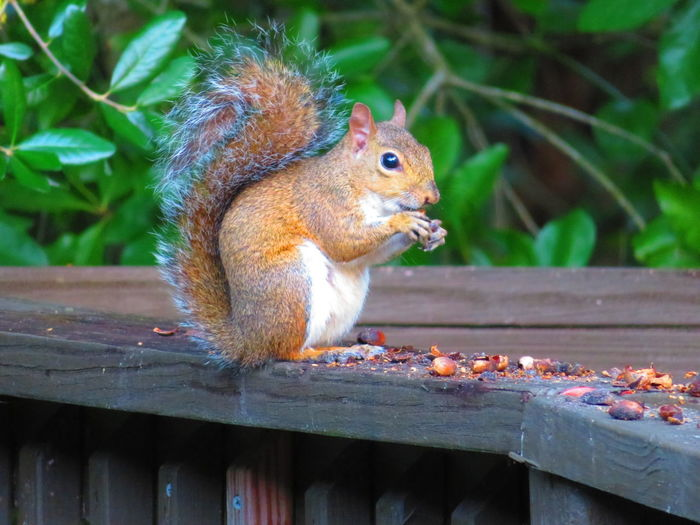 Squirrel eating a nut Squirrel Eating A Nut Nut Eating Squirrel Cute Close-up Tail