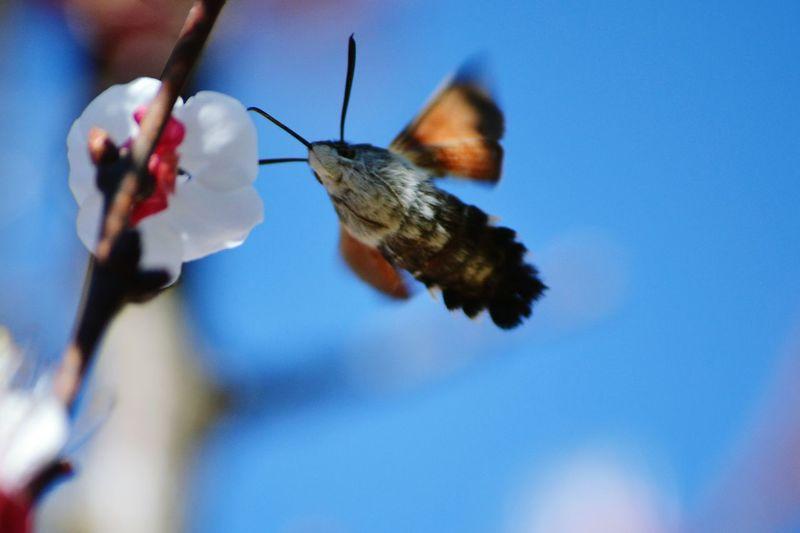 Taubenschwänzchen (Macroglossum Stellatarum) Flying Motion Spread Wings Insect Close-up Sky Animal Wing Symbiotic Relationship Wollschweber Animal Themes Animal One Animal Animals In The Wild