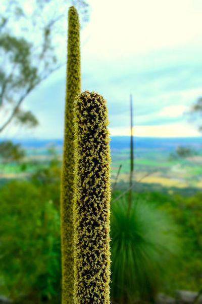Incense Aboriginal Asparagales Asphodelaceae Australia Black Boy Plant Blackboy Burnt Bushfire Grass Gum-tree Grasstree Monocots Perennial Vegetation X. Australis Xanthorrhoea Xanthorrhoea Australis Xanthorrhoeoideae