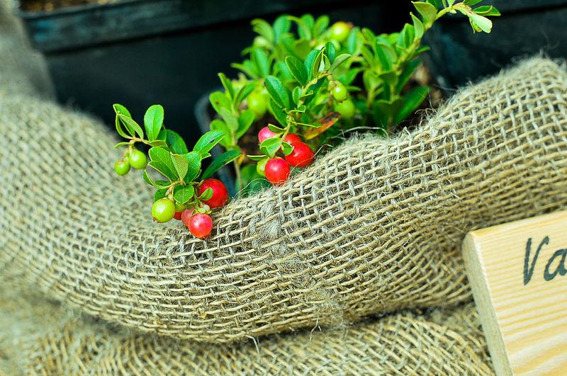 Coffee cherries in sack