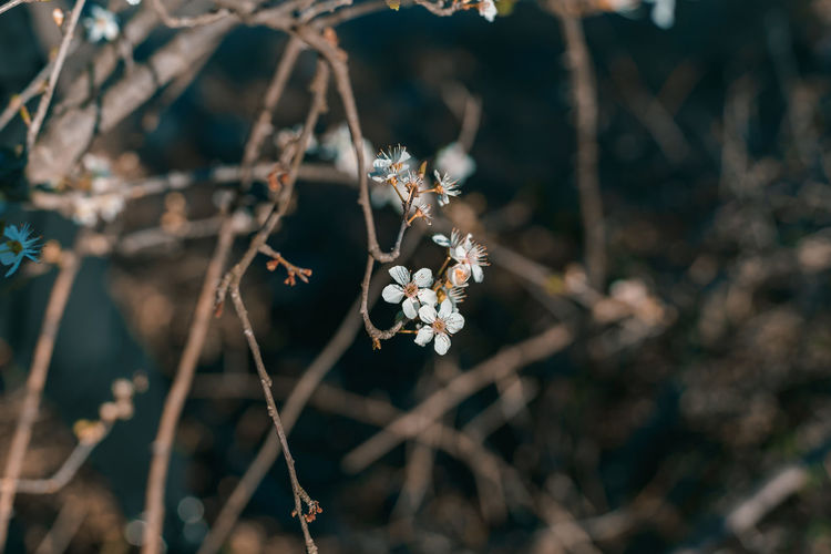 Plant Close-up Focus On Foreground Growth Flower Fragility Nature No People Day Flowering Plant Tree Vulnerability  Beauty In Nature Freshness Selective Focus Branch White Color Twig Outdoors Flower Head
