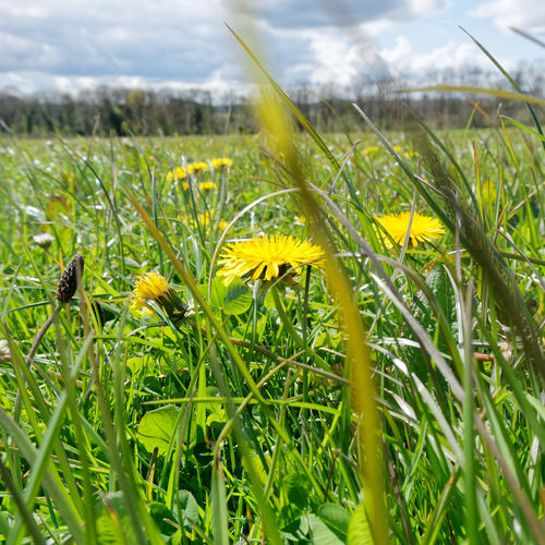Close-up of yellow flowering plants on land