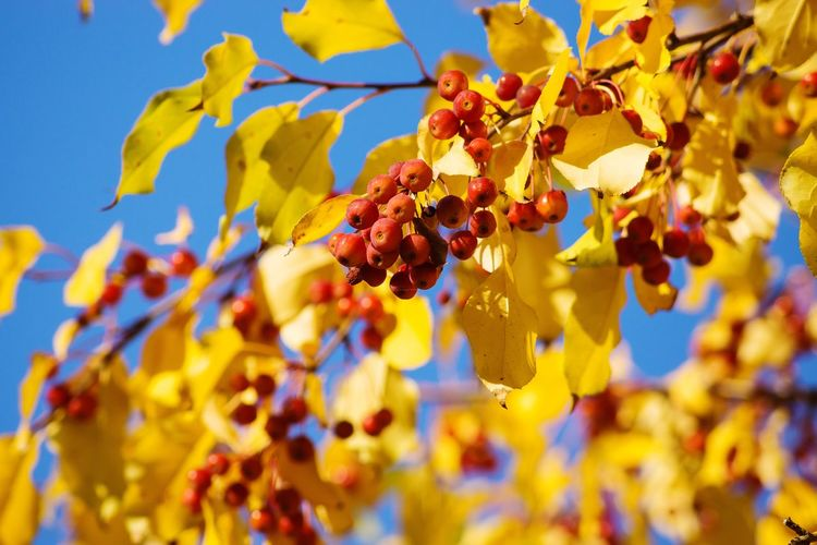 Autumn Outdoors Branch Close-up Leaf Day Beauty In Nature No People Tree Nature Sky Freshness Fruit Growth Plant Yellow