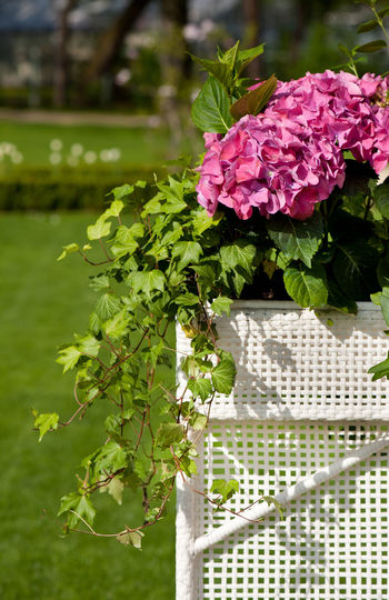 Hydrangea or hortensia blooming and ivy plant called Hedera helix grow in white plastic box in ornamental garden, Poland. Arrangement Bloom Blooming Composition Decorative Flower Flowering Flowers Garden Hedera Hedera Helix Hortensia Hydrangea Ivy Nature Nature No People Ornamental Garden Pink Plant Plant Plants Plants And Flowers