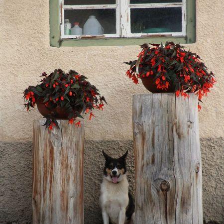 Dog EyeEm Selects Flower Window Box Pets Portrait Red Architecture Building Exterior Built Structure