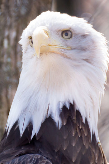 A Bald Eagle looking Majestic for a quick Portrait
