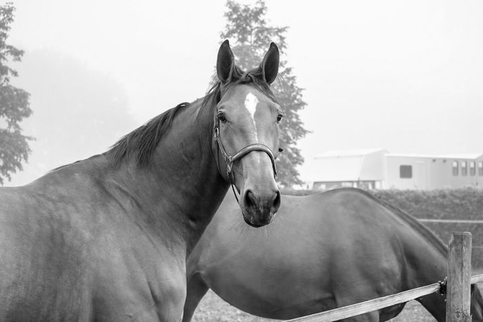 Beauty in its most simple state Blackandwhite Horses Horse Animal Wildlife Animal Animal Themes Vertebrate Livestock Mammal Nature One Animal No People Domestic Animals Pets Working Animal