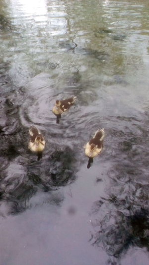 Ducks Baby Ducks Water Sea Life Lake Floating On Water Reflection Animal Themes Close-up Water Plant