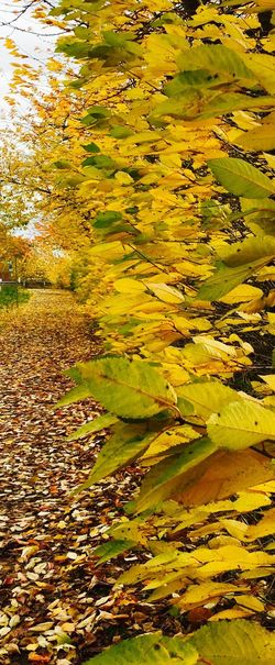 Nature Autumn Water Change Leaf Beauty In Nature Outdoors Yellow Scenics No People Close-up Day