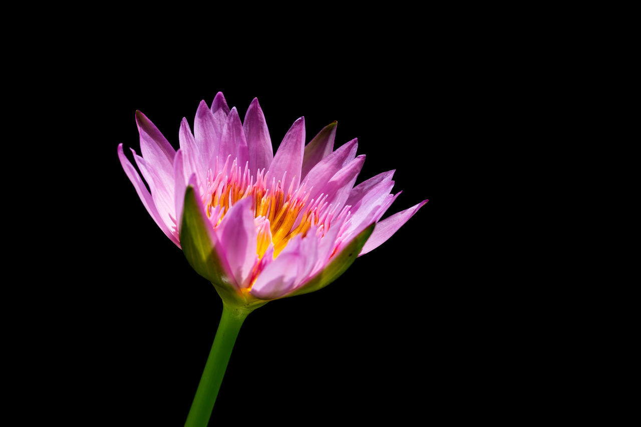 CLOSE-UP OF PINK WATER LILY AGAINST BLACK BACKGROUND