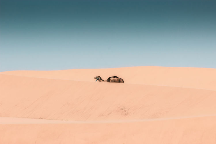 Camel walking on desert against clear sky during sunny day
