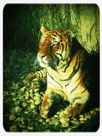 Hanging Out Having Fun Nature Animals Love Landscape Taking Photos Tiger Hello World