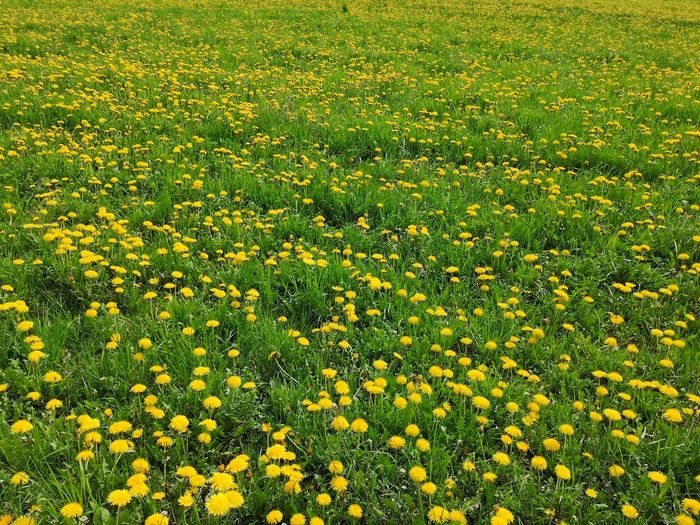 Green Meadow dotted with blooming yellow common dandelion. Medical Herb Medical Herbs Blooming Gewöhnlicher Löwenzahn Löwenzahn Yellow Color Yellow Flower Common Dandelion Dandelion Taraxacum Officinale Taraxacum Officinale F. H. Wigg Flower Backgrounds Full Frame Field Meadow Grass Green Color Countryside Shrub Pollen Flower Head Petal Grassland