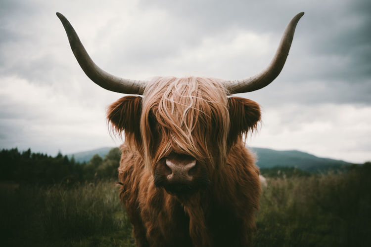 Close-Up Of Highland Cattle Standing On Field