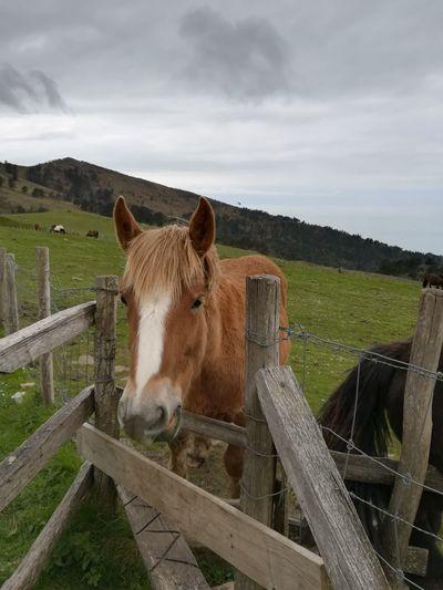 Horse Ponie Oil
