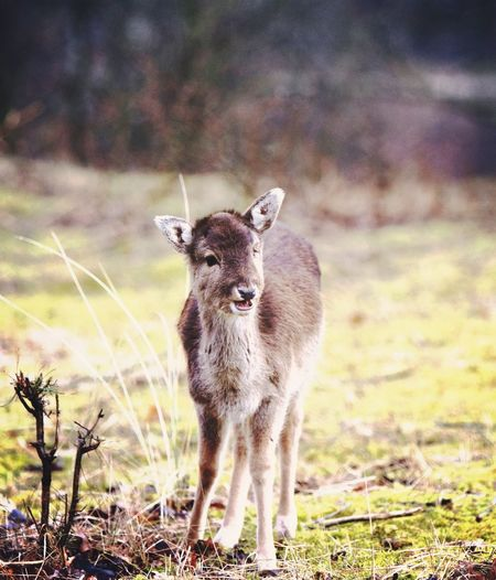 Bambi Animal Animal Themes Mammal Animals In The Wild Animal Wildlife Vertebrate One Animal Land Portrait Deer Young Animal Nature