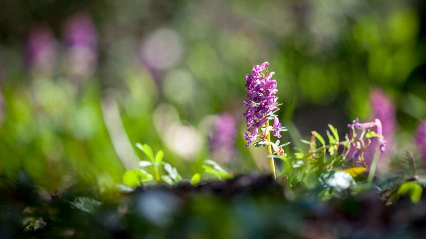 Paradise track Beauty In Nature Close-up Day Field Flower Flower Head Flowering Plant Fragility Freshness Green Color Growth Inflorescence Land Lavender Nature No People Outdoors Petal Plant Purple Selective Focus Vulnerability