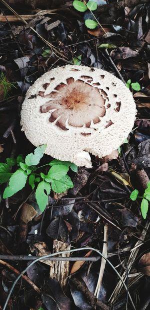 Leaf Toadstool Fungus Close-up Plant Mushroom Growing