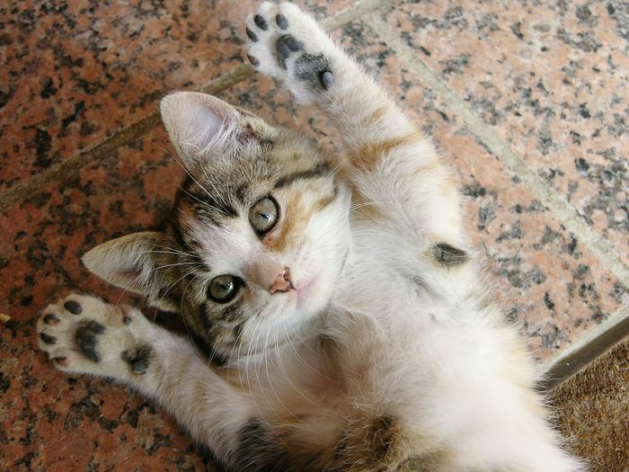 Cat Kitten Hands Up Hands Up Don't Shoot Kitten Playing Good Mood One Animal Looking At Camera Animal Themes Mammal High Angle View Domestic Cat No People Close-up Day Funny