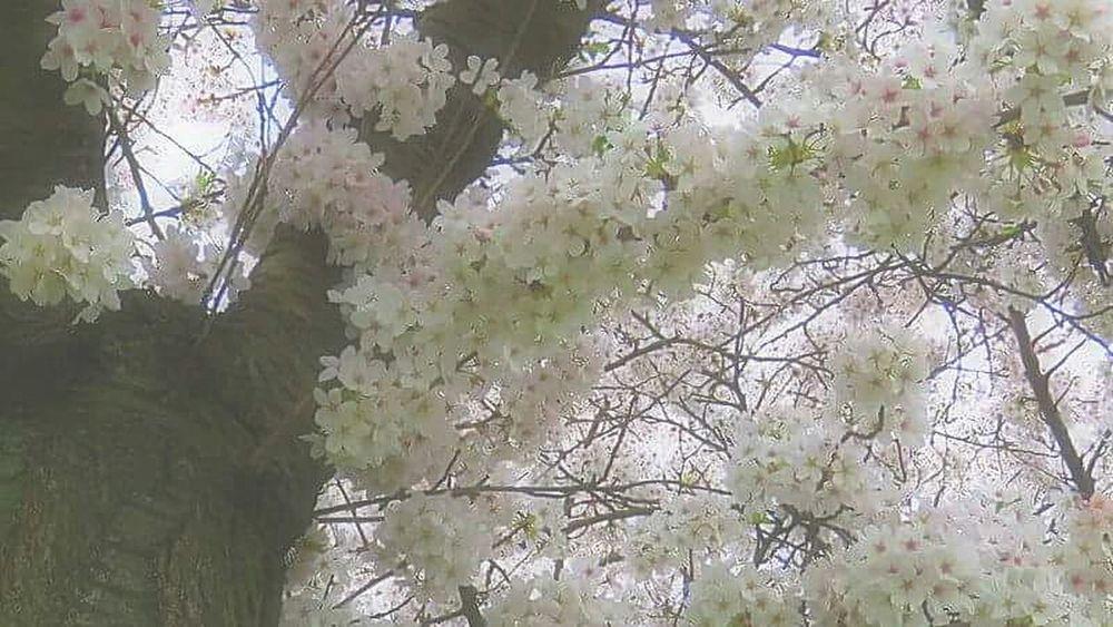 Lovely Blossoms  Blossom Tree Blossom Flowers Bloesem Bloesems Enjoying The Sun Relaxing EyeEm Love EyeEm Gallery