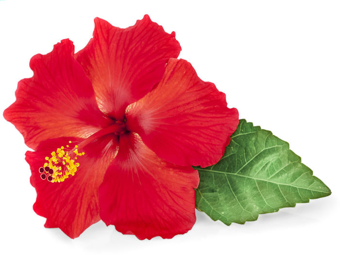 Close-up of red hibiscus over white background