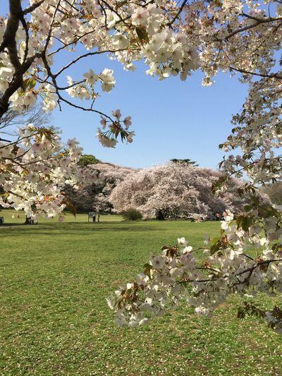 Kinuta Park Sakura 2017 First Eyeem Photo