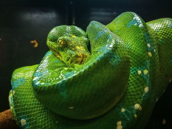 Green Color Reptile Animal Wildlife One Animal Animal Themes Animals In The Wild Close-up Nature Animal Scale No People Day Black Background Indoors  Beauty In Nature