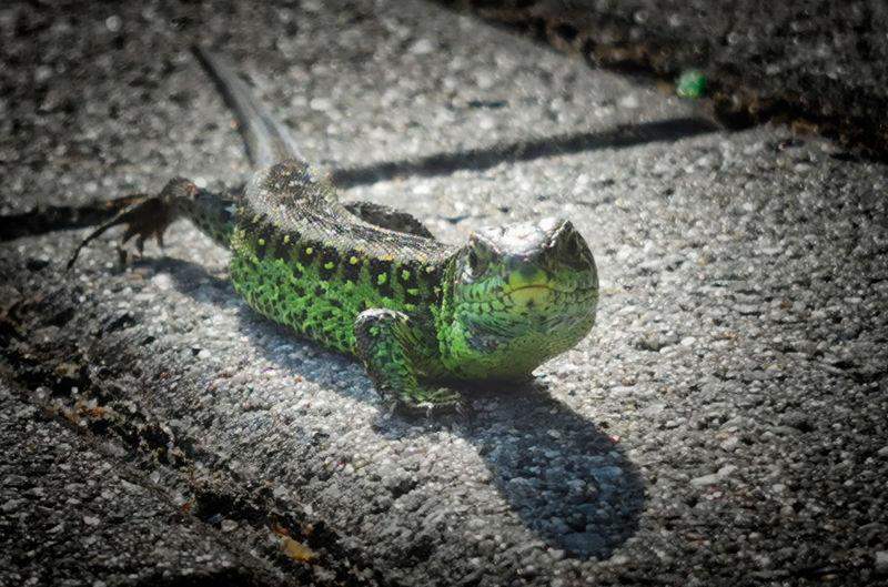 High angle view of lizard on street