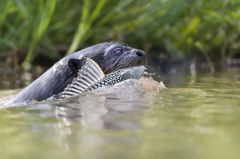 Close-up of dog swimming in lake