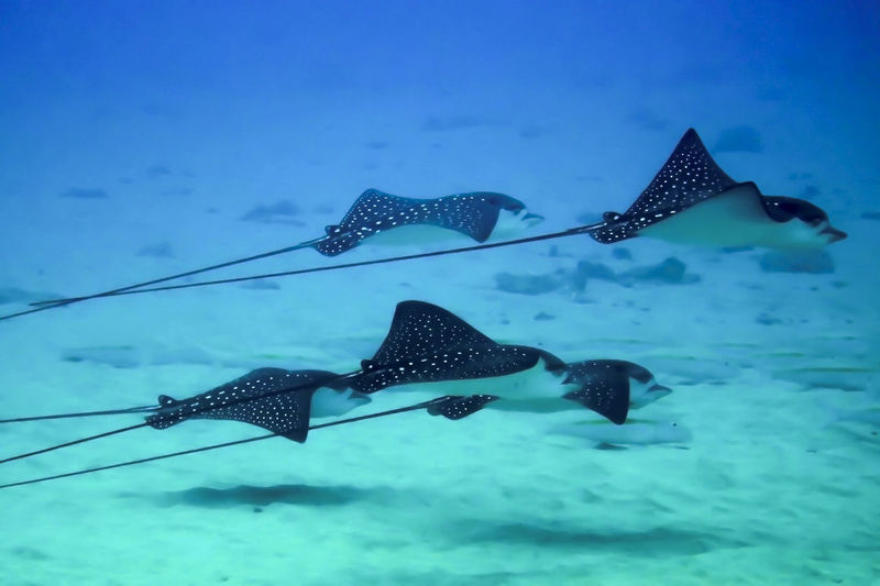 Bat Rays Hawaii SCUBA Snorkeling Sting Rays Animal Themes Animal Wildlife Animals In The Wild Beauty In Nature Day Eagle Rays Fish Nature No People Outdoors Rays School Sea Sea Life Spotted Swimming Tropical UnderSea Underwater Water