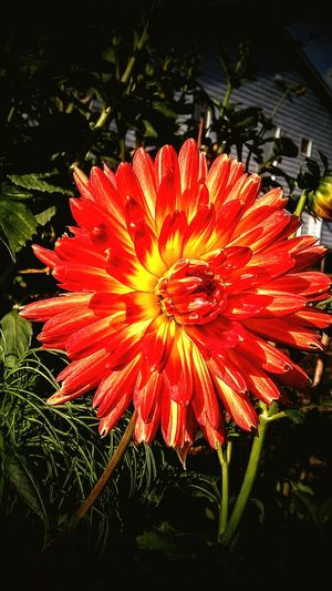 Covington,washington Flower Red Yellow Dahlia Colors The Color Of Sport Vibrant Vivid Love Close-up Electric Rewarding Lively Summer Mothers Garden Pacific Northwest